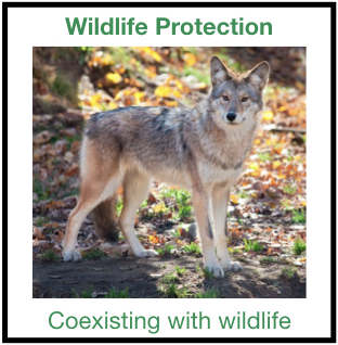 Coyote standing in fall leaves